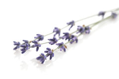 Lavender on white background Royalty Free Stock Photo