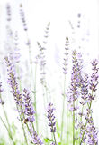 Lavender on white Royalty Free Stock Photo