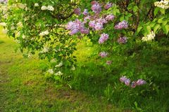 Lavender and white lilac bushes blossoming in a park stock photos