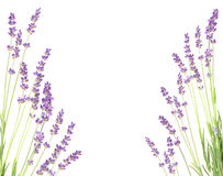 Lavender on a white wall. Royalty Free Stock Photos