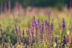 Lavender wild field flowers Stock Photography