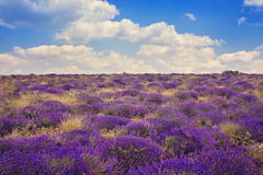 Lavender wild fields Stock Images