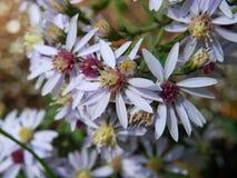 Lavender wildflowers Στοκ Φωτογραφία