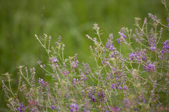 Lavender wildflowers Stock Images