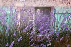 Lavender window. Lavender growing in front of a typical French pastel colored village window in Provence Royalty Free Stock Photo