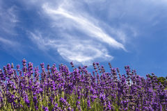 Lavender and wispy clouds stock photography