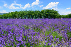 Lavender in the Yagisaki Park at Lakeside of Kawaguchi Stock Photography