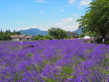 Lavender in the Yagisaki Park at Lakeside of Kawaguchi Royalty Free Stock Photography