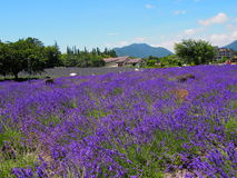 Lavender in the Yagisaki Park at Lakeside of Kawaguchi Royalty Free Stock Images
