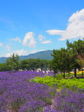 Lavender in the Yagisaki Park at Lakeside of Kawaguchi Royalty Free Stock Photos