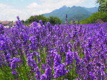 Lavender in the Yagisaki Park at Lakeside of Kawaguchi Stock Image