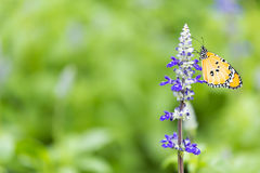 Lavender and yellow butterfly. Stock Photo