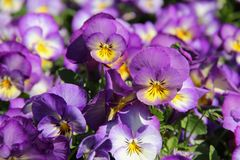 Lavender and Yellow Pansies. Viola blooming in a garden in Stavanger, Norway Royalty Free Stock Image