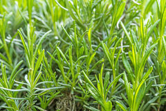 Lavender, young plants Royalty Free Stock Photos