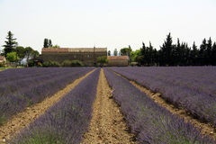 Lavenderfield Imagem de Stock Royalty Free