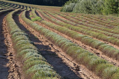 LavenderField cosechado en el verano, Provence Fotografía de archivo libre de regalías