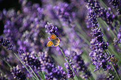 LavenderPurple-with-OrangeButterfly_andBee Royalty-vrije Stock Afbeeldingen