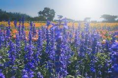 Lavenders ανθίζουν την άνοιξη το χρόνο Εκλεκτική εστίαση Στοκ Εικόνα