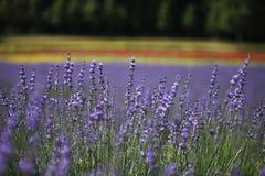 Lavenders βλέπουν στην πόλη Nakafuano στο Hokkaido, βόρεια Ιαπωνία Στοκ Εικόνες