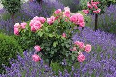 Lavenders και τριαντάφυλλα Στοκ Φωτογραφίες