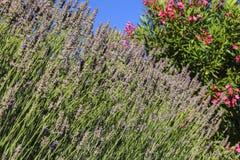 Lavenders λουλούδια, κινηματογράφηση σε πρώτο πλάνο Στοκ εικόνες με δικαίωμα ελεύθερης χρήσης