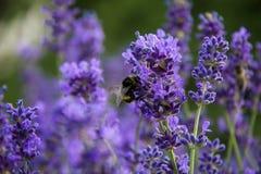 Lavenders με bumblebee Στοκ φωτογραφία με δικαίωμα ελεύθερης χρήσης