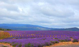 lavenders πεδίων Στοκ Εικόνες