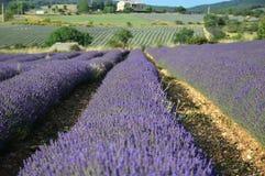 Lavenders στην Προβηγκία Στοκ Εικόνες