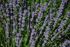 Lavenders στο νότο της Γαλλίας, Προβηγκία, sault Στοκ φωτογραφία με δικαίωμα ελεύθερης χρήσης