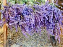 Lavenders στο νότο της Γαλλίας, Προβηγκία, sault Στοκ Φωτογραφία