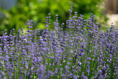 Lavenders Stock Images