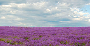 Lavenders Stock Photo