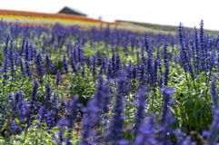 lavenders Στοκ εικόνα με δικαίωμα ελεύθερης χρήσης