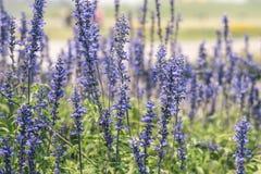 lavenders Στοκ φωτογραφία με δικαίωμα ελεύθερης χρήσης
