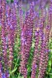 lavenders Στοκ Φωτογραφίες