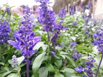 lavenders Στοκ εικόνες με δικαίωμα ελεύθερης χρήσης
