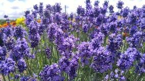 lavenders Στοκ Εικόνα