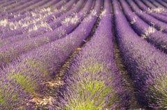lavenders Στοκ Εικόνες
