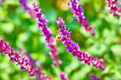 Lavenders and bee. More lavenders is booming and a bee on them Stock Images