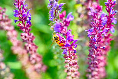 Lavenders and bee. More lavenders is booming and a bee on them Stock Photography