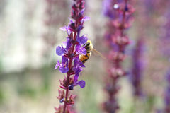 Lavenders and bee. More lavenders is booming and a bee on them Stock Image