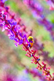 Lavenders and bee. More lavenders is booming and a bee on them Royalty Free Stock Photography