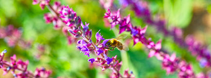 Lavenders and bee. More lavenders is booming and a bee on them Royalty Free Stock Photo