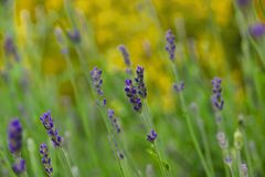 Lavenders blooming Stock Photography