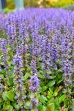 Lavenders blooming in Hamilton Gardens Stock Photos