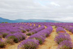 Lavenders in a field royalty free stock photo