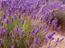 Lavenders in a field Royalty Free Stock Photos
