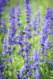 Lavenders Royalty Free Stock Photo
