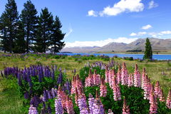 Lavenders by lake Tekapo. New zealand, 200711 Royalty Free Stock Images