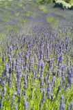 The lavenders (Lavandula) Stock Images